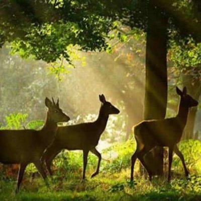 Deer in Simlipal